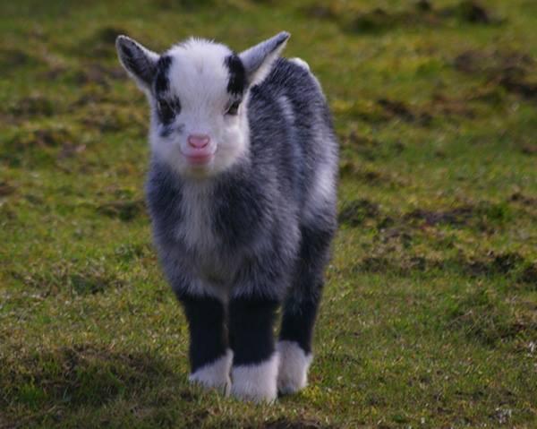 kuzu lamb