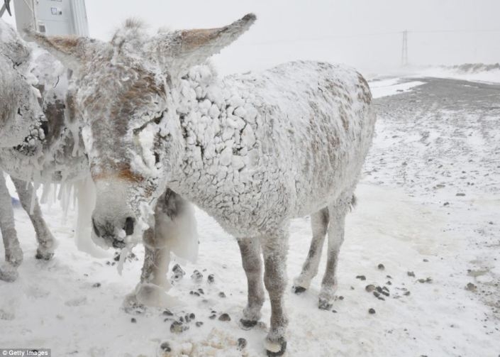 Ice covered stray donkeys stand outside in cold weather in Karlik village of Karacadag region located in Siverek district of Turkey's Sanliurfa province in Southeastern Anatolia region